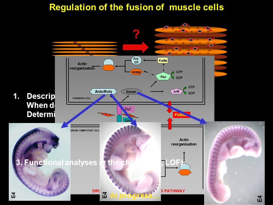 Regulation of the fusion of muscle cells