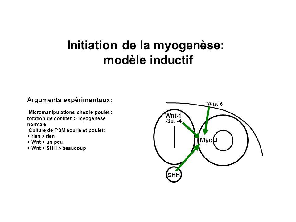 Initiation de la myogenèse: