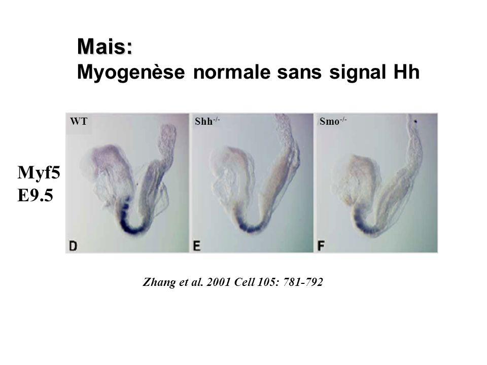 Mais: Myogenèse normale sans signal Hh Myf5 E9.5