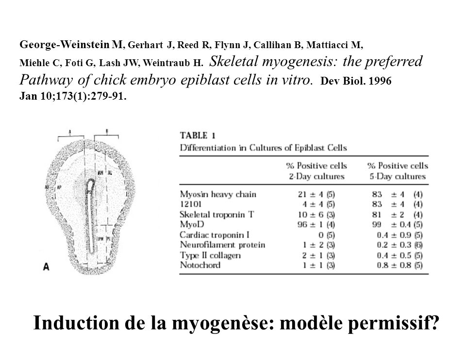 Induction de la myogenèse: modèle permissif