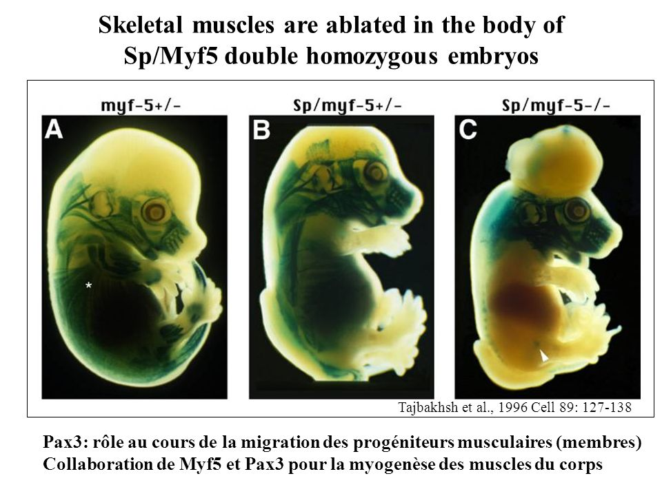Skeletal muscles are ablated in the body of Sp/Myf5 double homozygous embryos