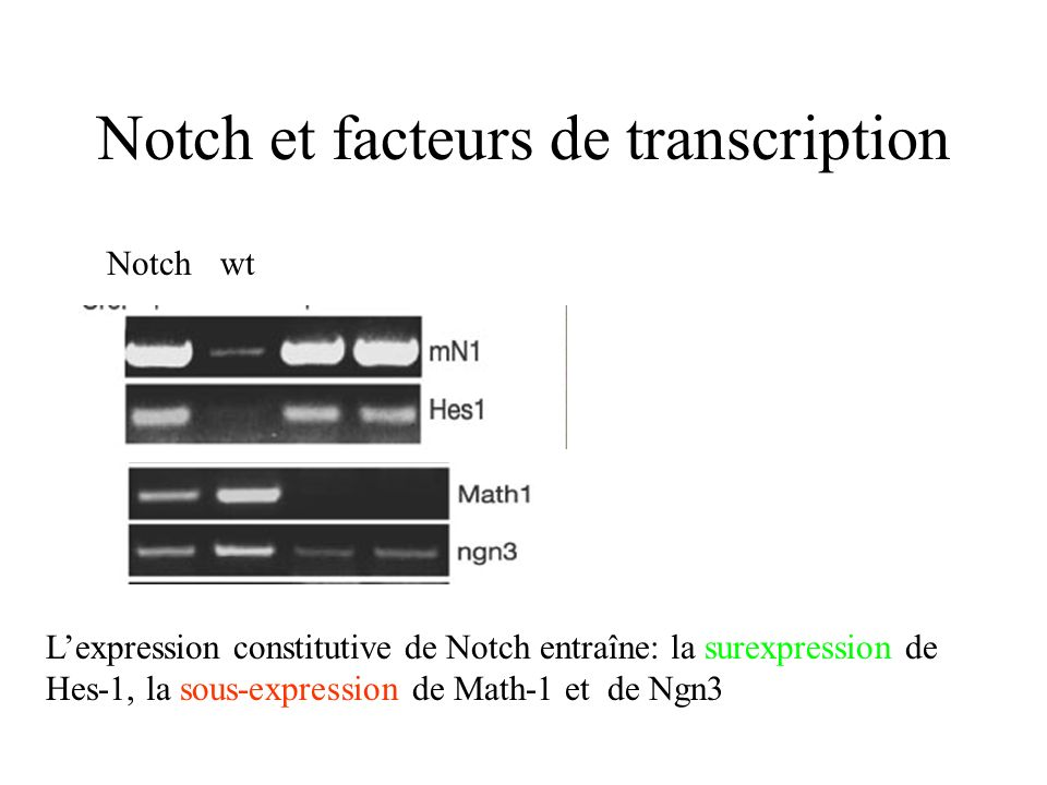 Notch et facteurs de transcription