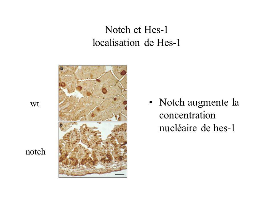 Notch et Hes-1 localisation de Hes-1