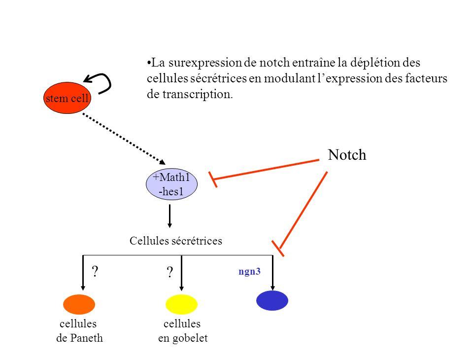 La surexpression de notch entraîne la déplétion des cellules sécrétrices en modulant l'expression des facteurs de transcription.