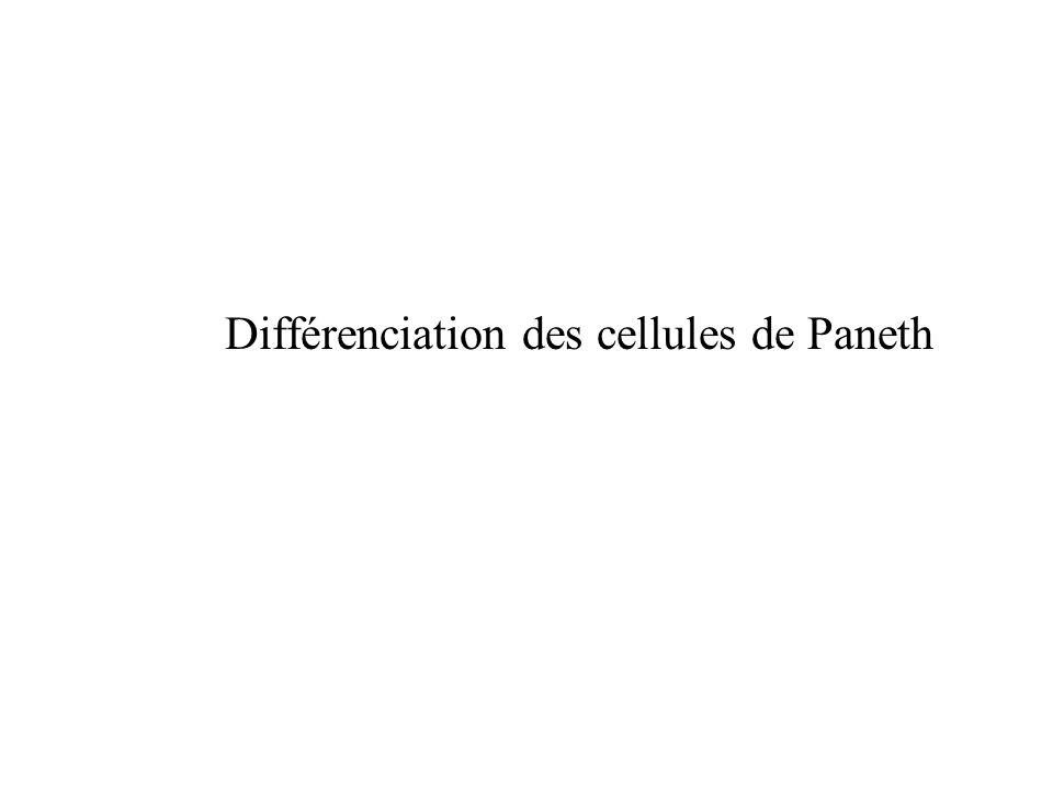 Différenciation des cellules de Paneth