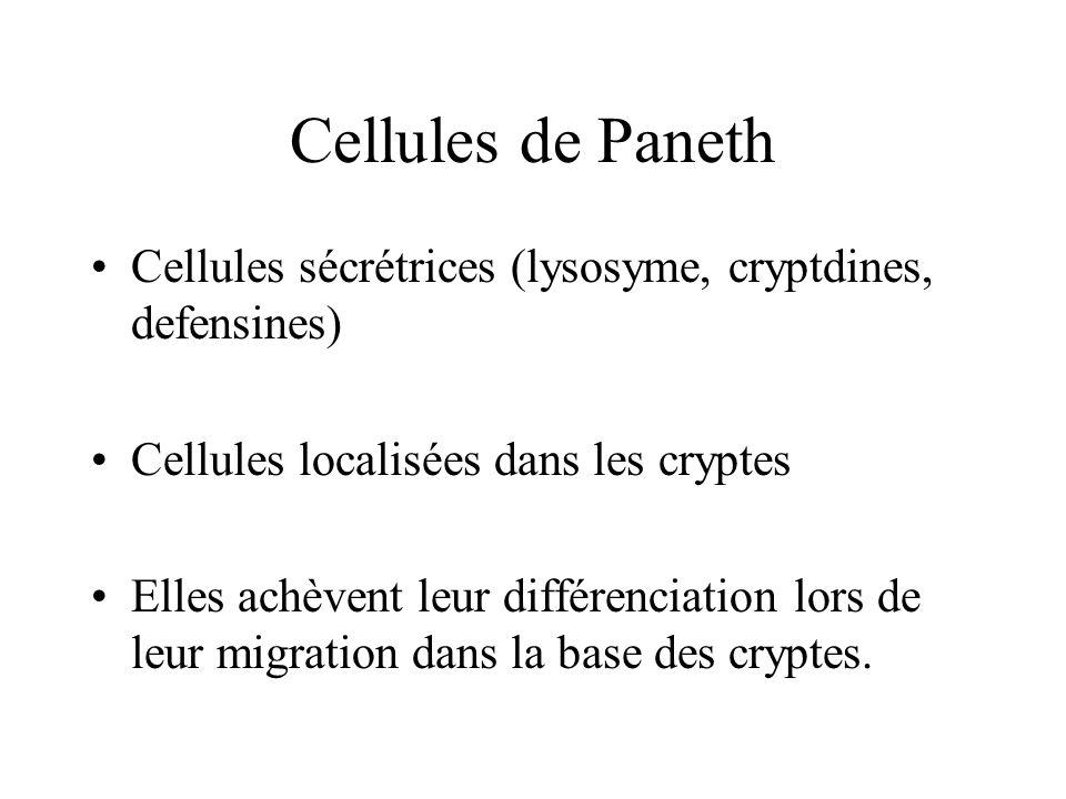 Cellules de Paneth Cellules sécrétrices (lysosyme, cryptdines, defensines) Cellules localisées dans les cryptes.