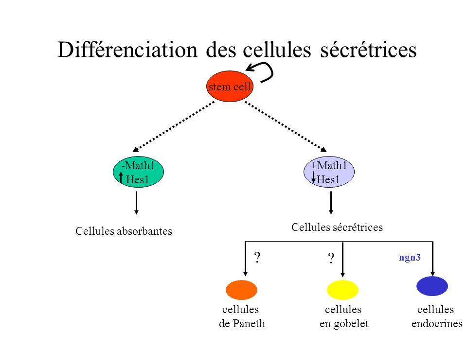 Différenciation des cellules sécrétrices