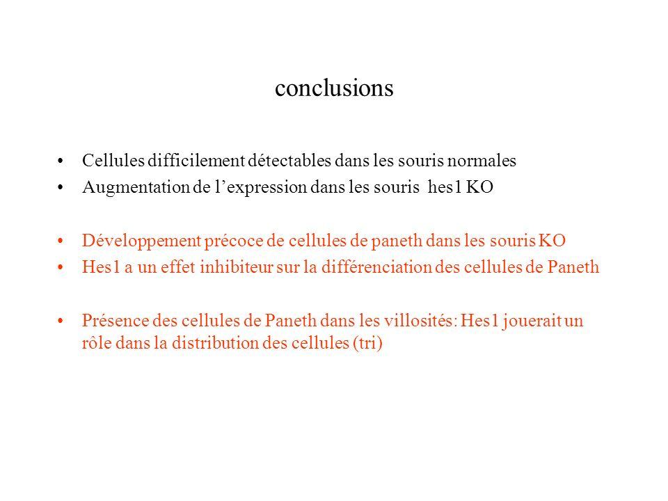 conclusions Cellules difficilement détectables dans les souris normales. Augmentation de l'expression dans les souris hes1 KO.