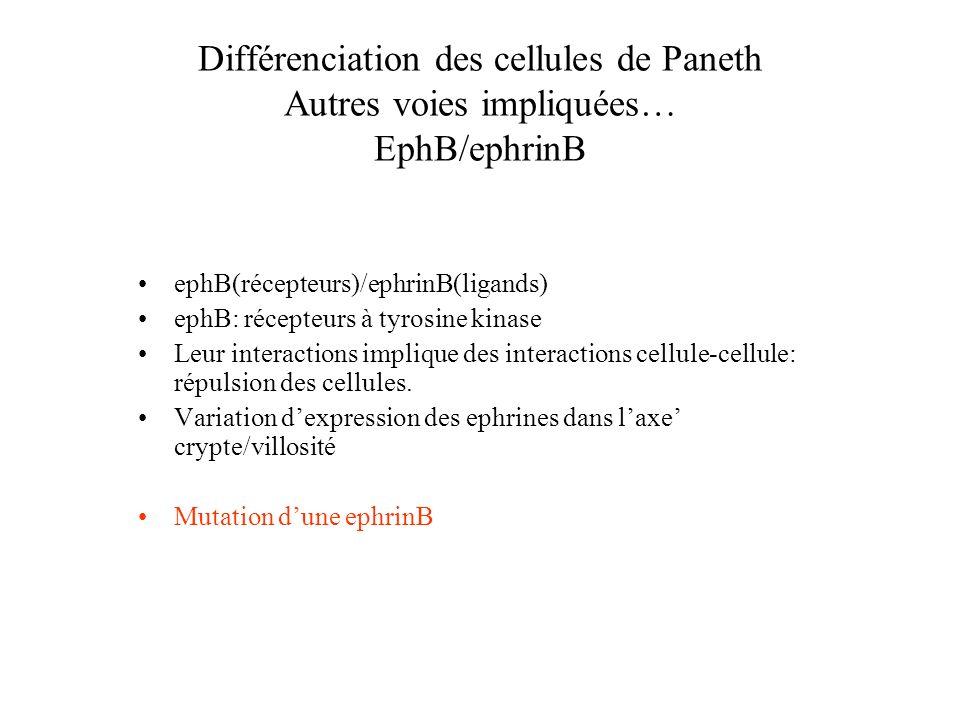 Différenciation des cellules de Paneth Autres voies impliquées… EphB/ephrinB