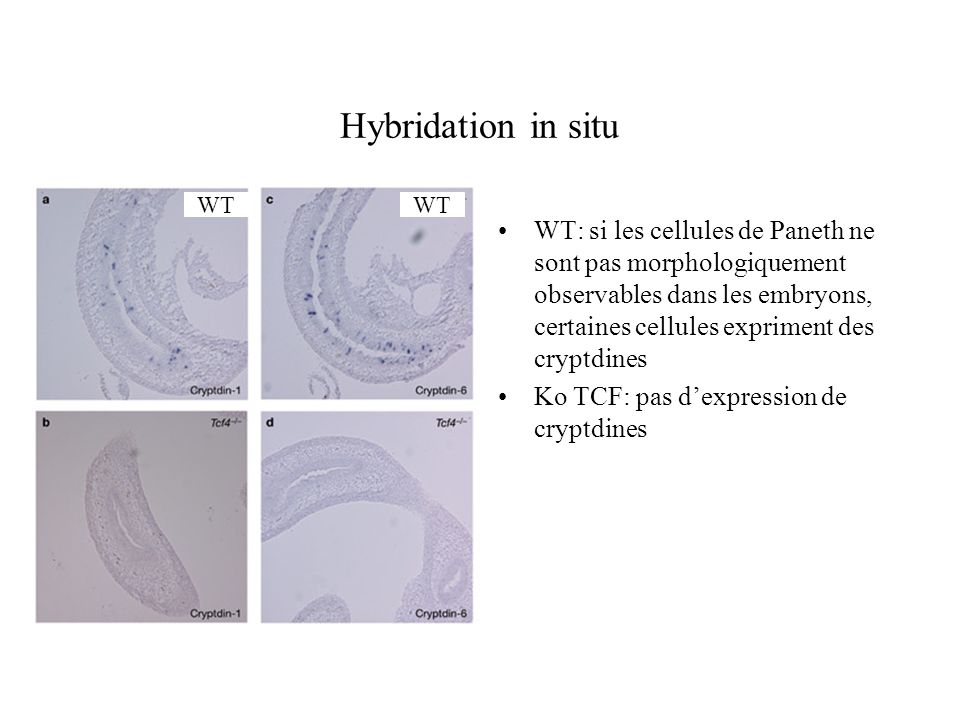 Hybridation in situWT. WT.