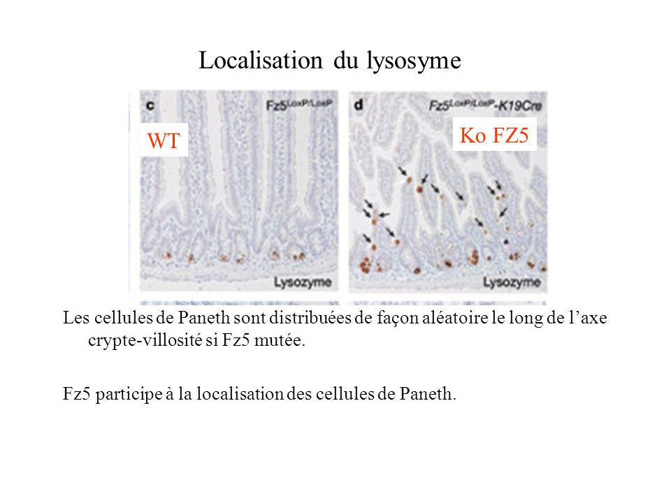 Localisation du lysosyme