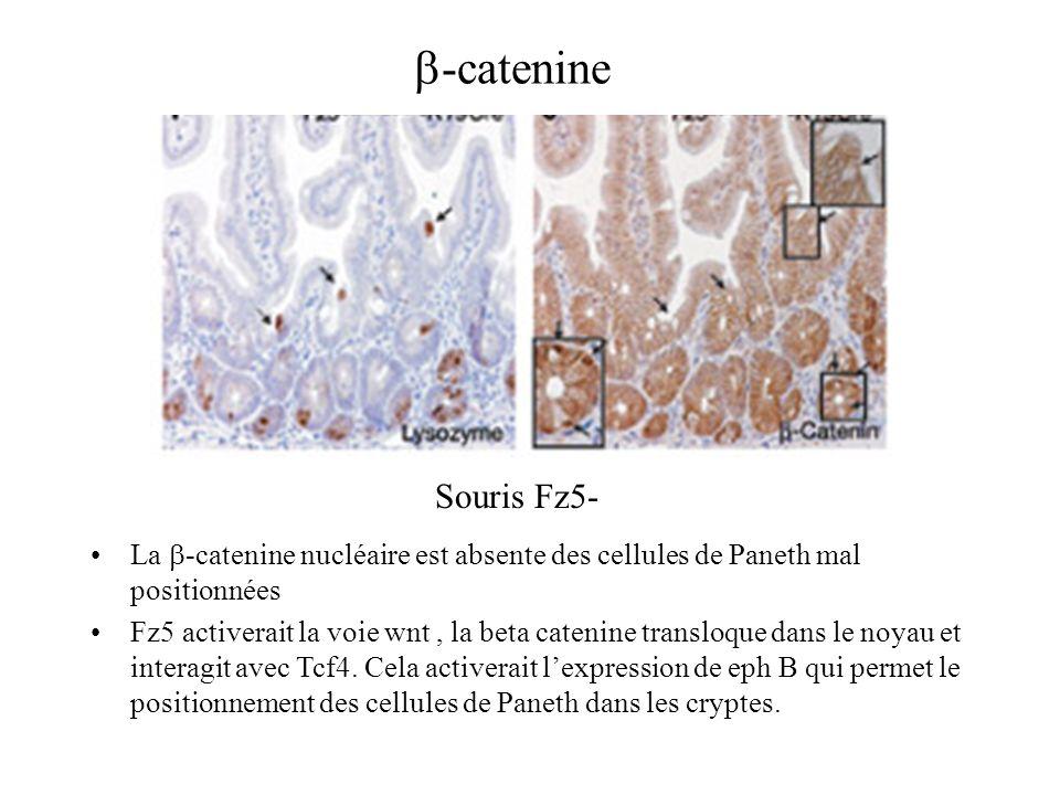 b-catenine Souris Fz5- La b-catenine nucléaire est absente des cellules de Paneth mal positionnées.