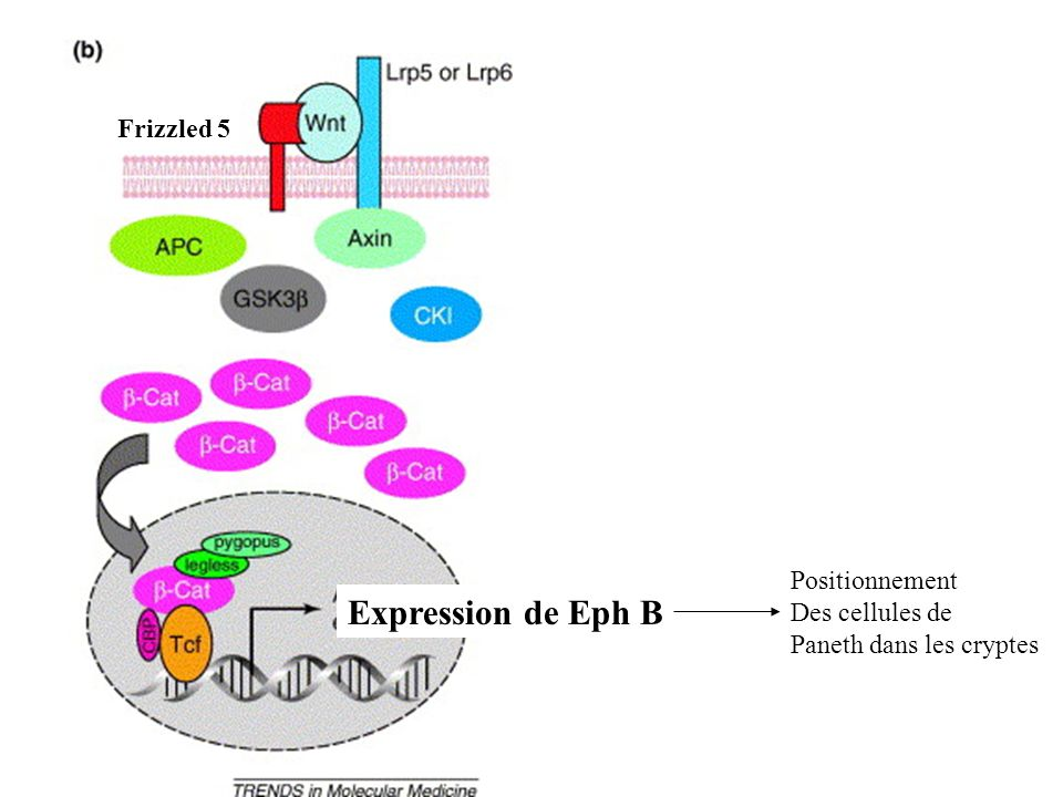 Frizzled 5 Expression de Eph B Positionnement Des cellules de
