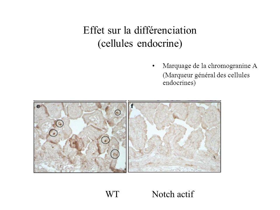 Effet sur la différenciation (cellules endocrine)