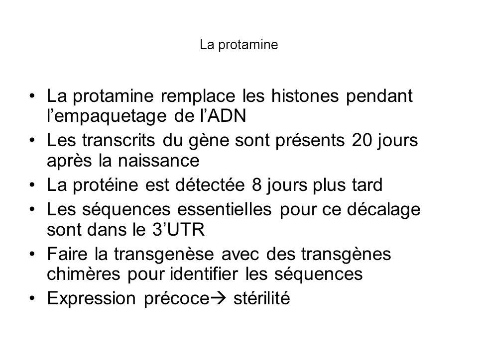 La protamine remplace les histones pendant l'empaquetage de l'ADN