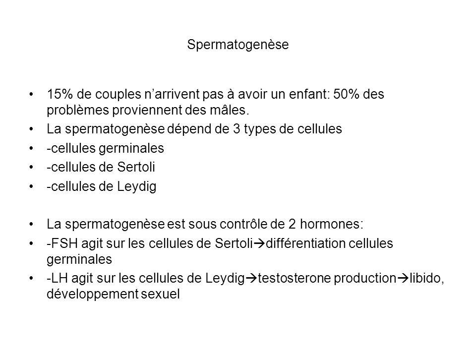 Spermatogenèse 15% de couples n'arrivent pas à avoir un enfant: 50% des problèmes proviennent des mâles.