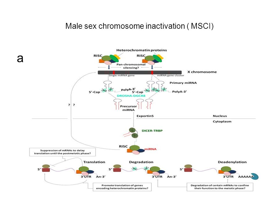 Male sex chromosome inactivation ( MSCI)