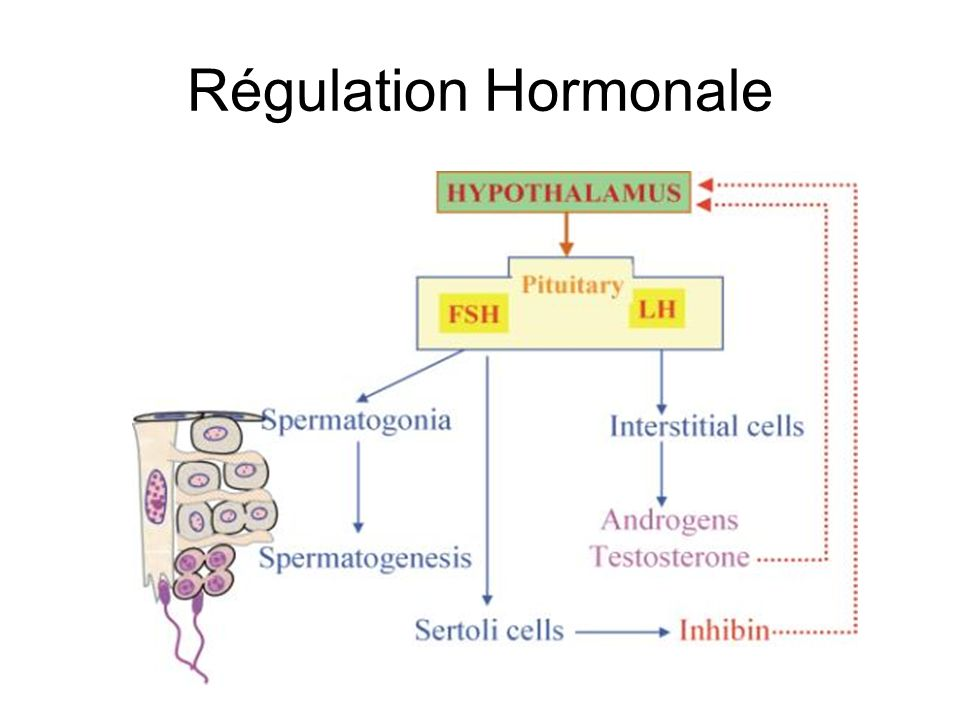Régulation Hormonale