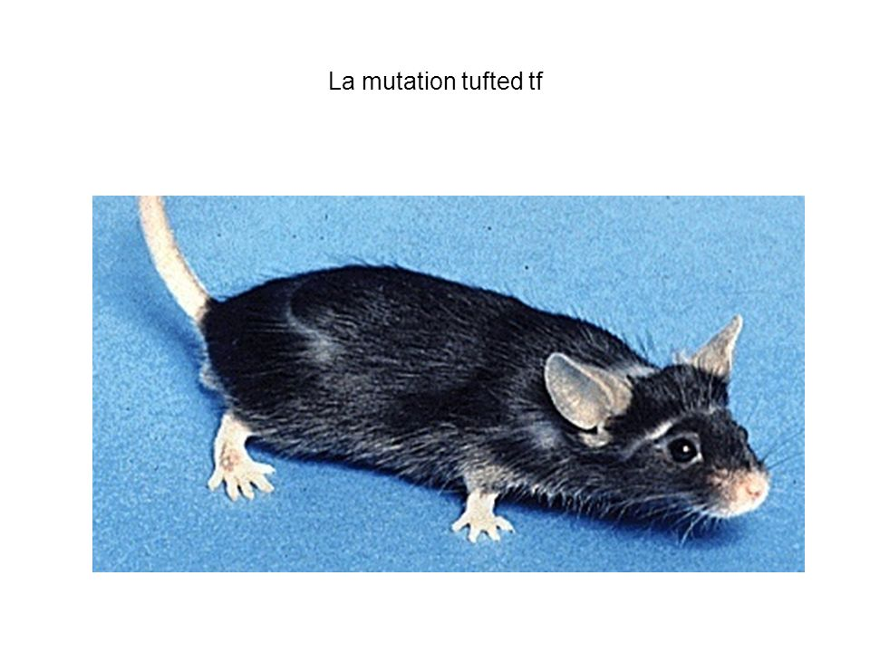 La mutation tufted tf