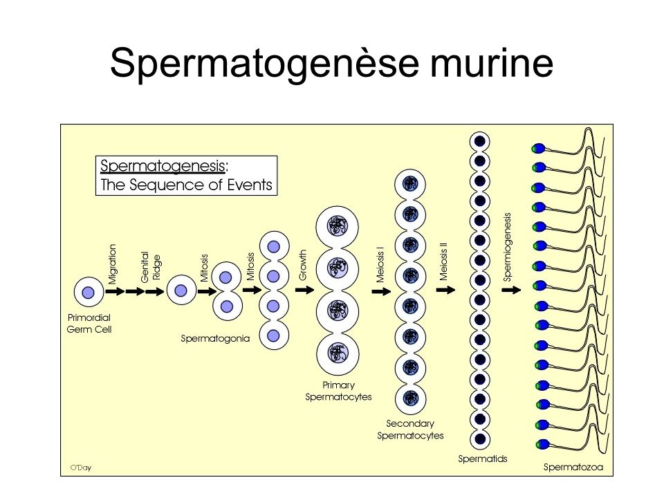 Spermatogenèse murine