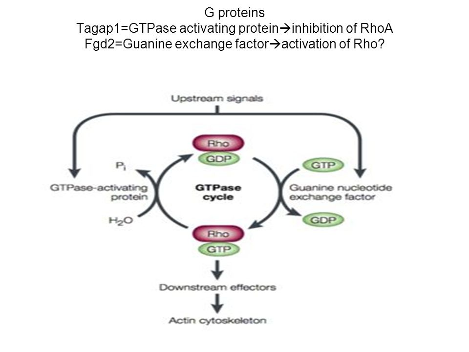 G proteins Tagap1=GTPase activating proteininhibition of RhoA Fgd2=Guanine exchange factoractivation of Rho