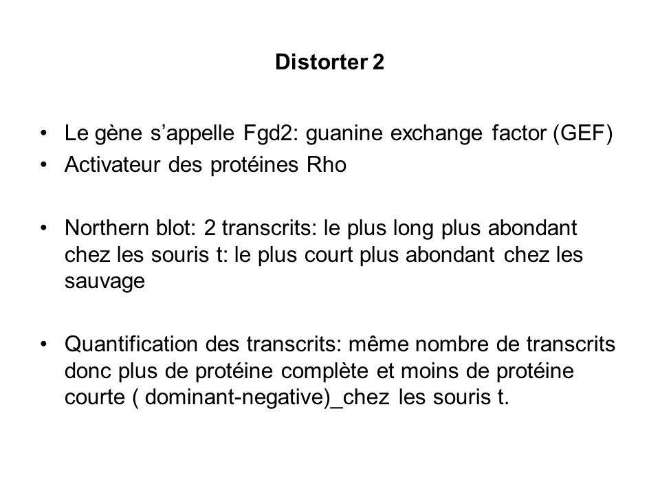 Distorter 2 Le gène s'appelle Fgd2: guanine exchange factor (GEF) Activateur des protéines Rho.