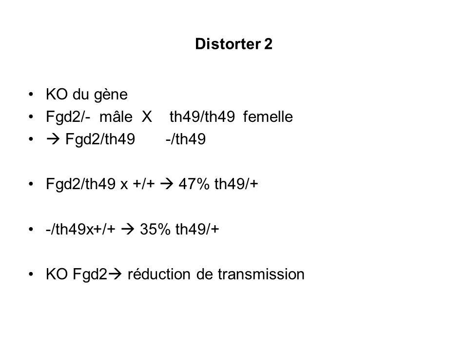 Distorter 2 KO du gène. Fgd2/- mâle X th49/th49 femelle.  Fgd2/th49 -/th49. Fgd2/th49 x +/+  47% th49/+