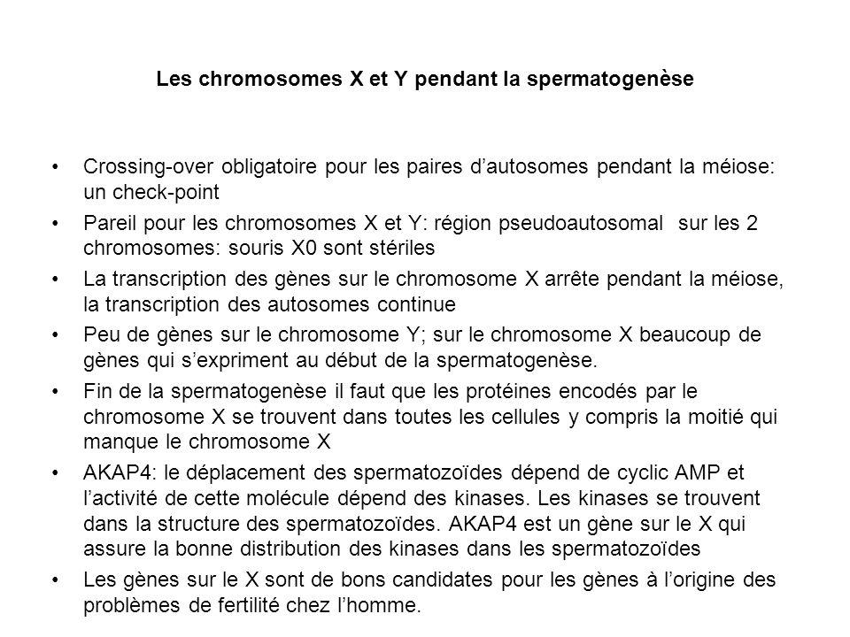 Les chromosomes X et Y pendant la spermatogenèse