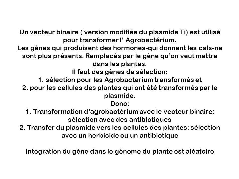 Un vecteur binaire ( version modifiée du plasmide Ti) est utilisé pour transformer l' Agrobactérium.