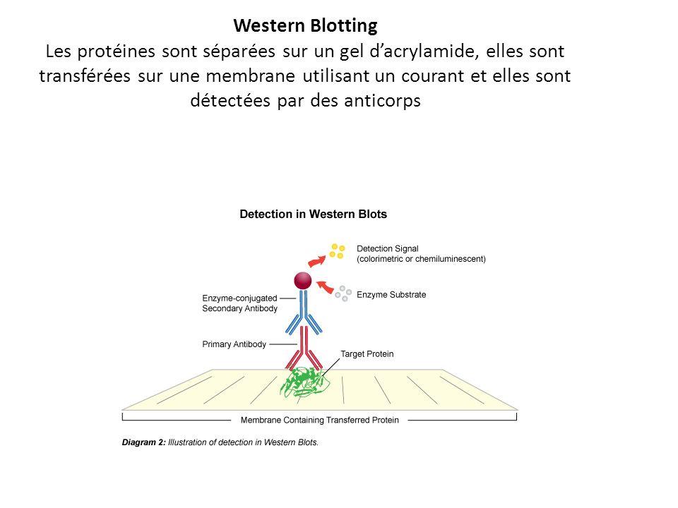 Western Blotting Les protéines sont séparées sur un gel d'acrylamide, elles sont transférées sur une membrane utilisant un courant et elles sont détectées par des anticorps