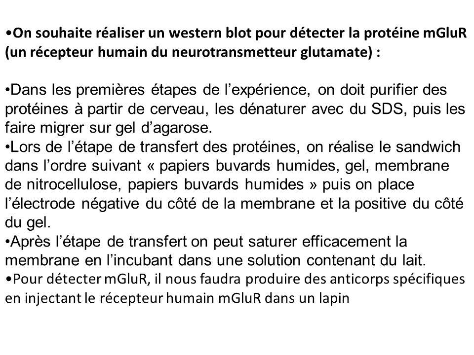 On souhaite réaliser un western blot pour détecter la protéine mGluR (un récepteur humain du neurotransmetteur glutamate) :
