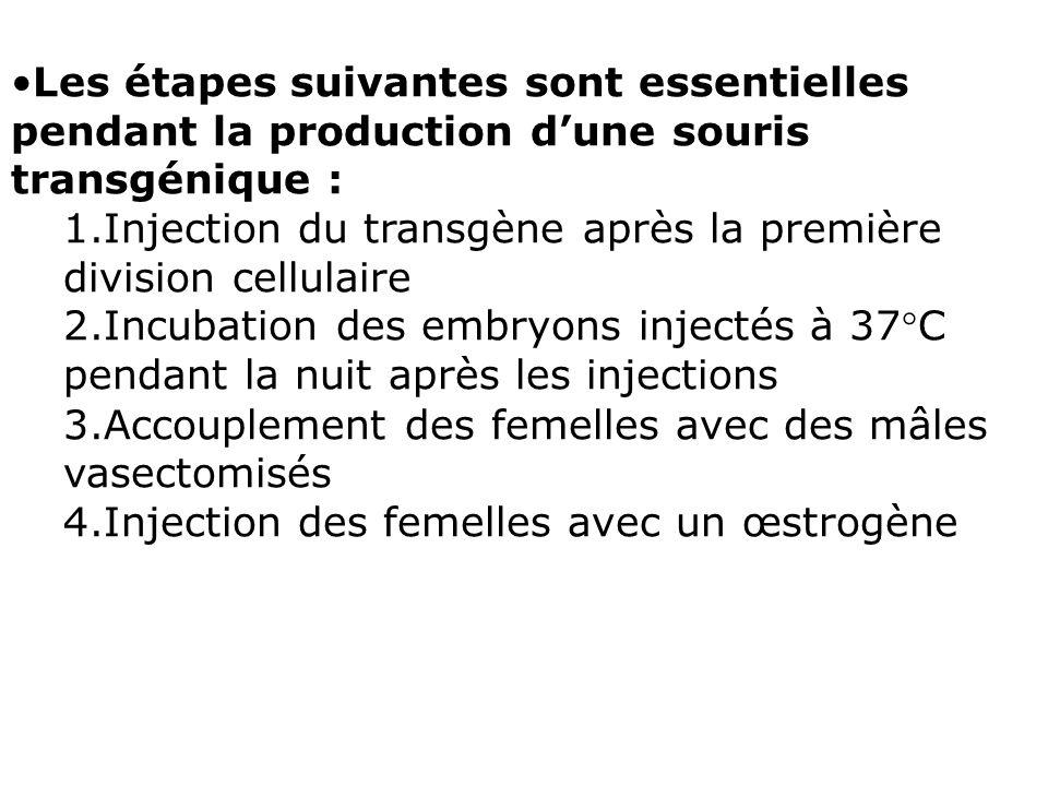 Les étapes suivantes sont essentielles pendant la production d'une souris transgénique :