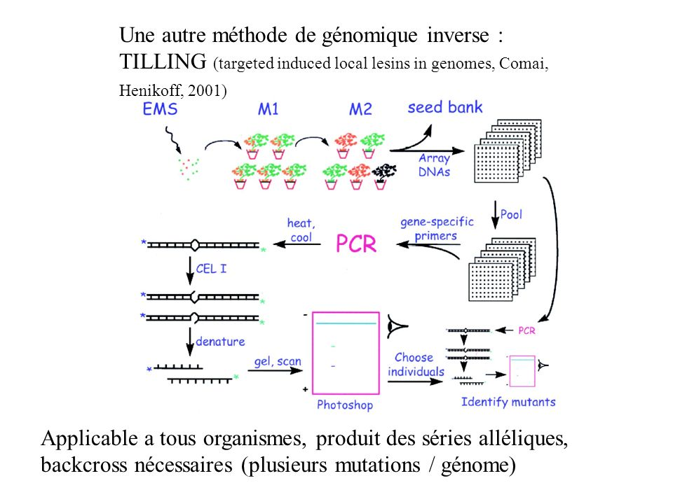 Une autre méthode de génomique inverse : TILLING (targeted induced local lesins in genomes, Comai, Henikoff, 2001)