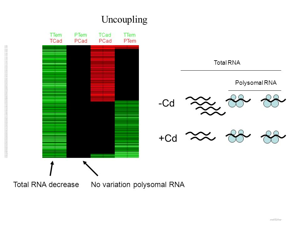 Uncoupling -Cd +Cd Total RNA decrease No variation polysomal RNA