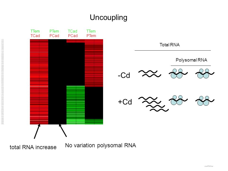 Uncoupling -Cd +Cd No variation polysomal RNA total RNA increase