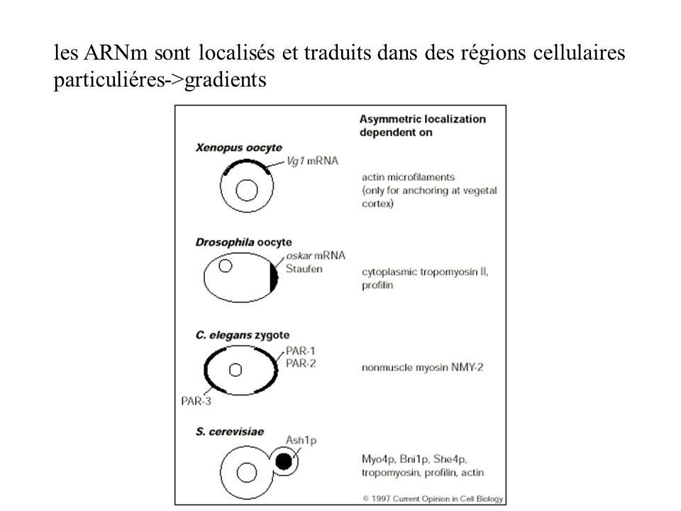 les ARNm sont localisés et traduits dans des régions cellulaires