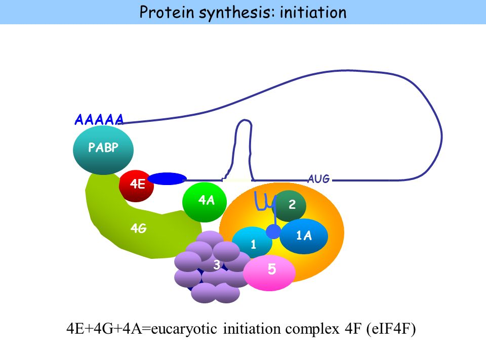 Protein synthesis: initiation