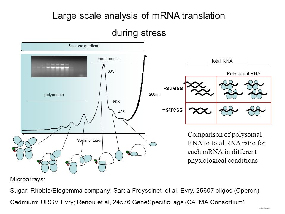 Large scale analysis of mRNA translation