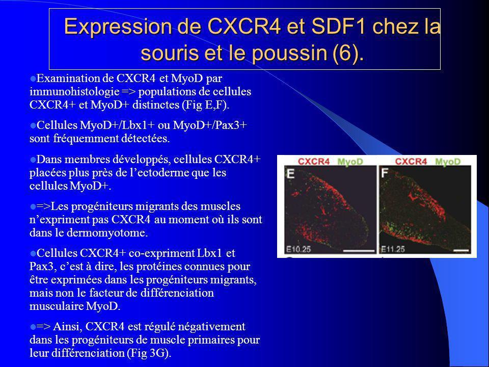 Expression de CXCR4 et SDF1 chez la souris et le poussin (6).