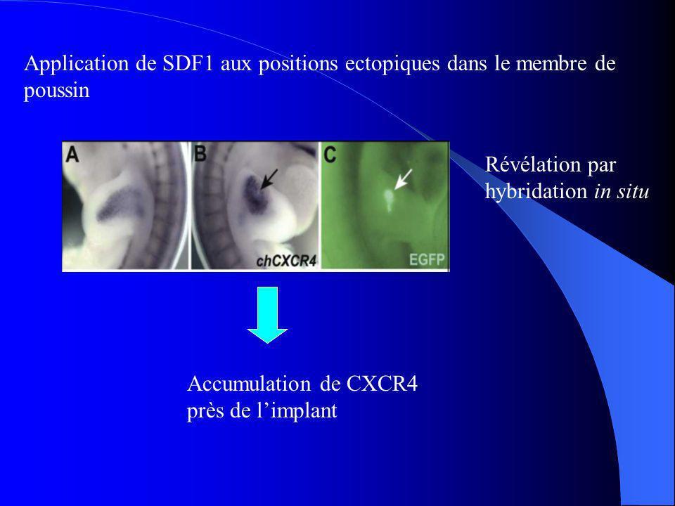 Application de SDF1 aux positions ectopiques dans le membre de poussin