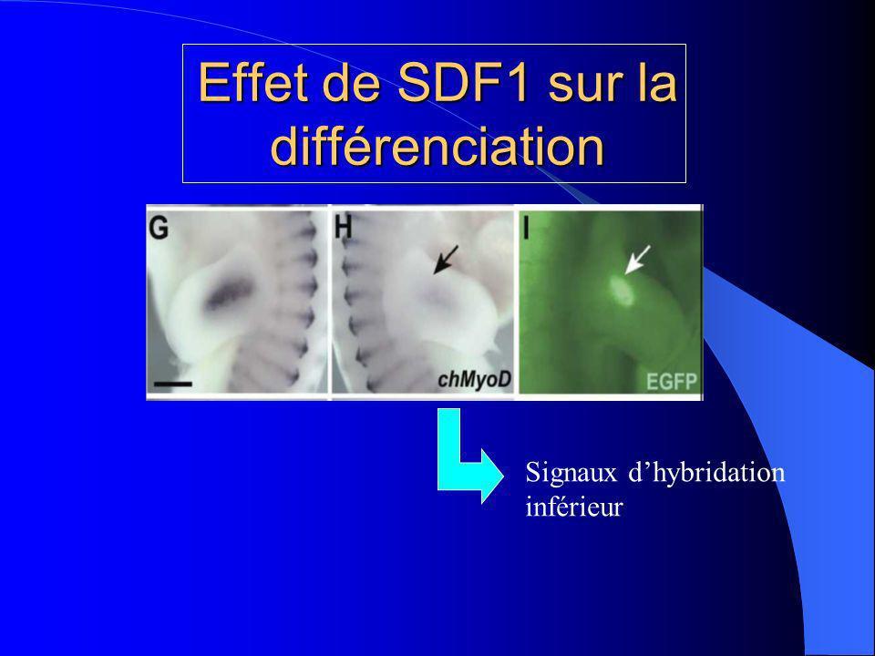 Effet de SDF1 sur la différenciation