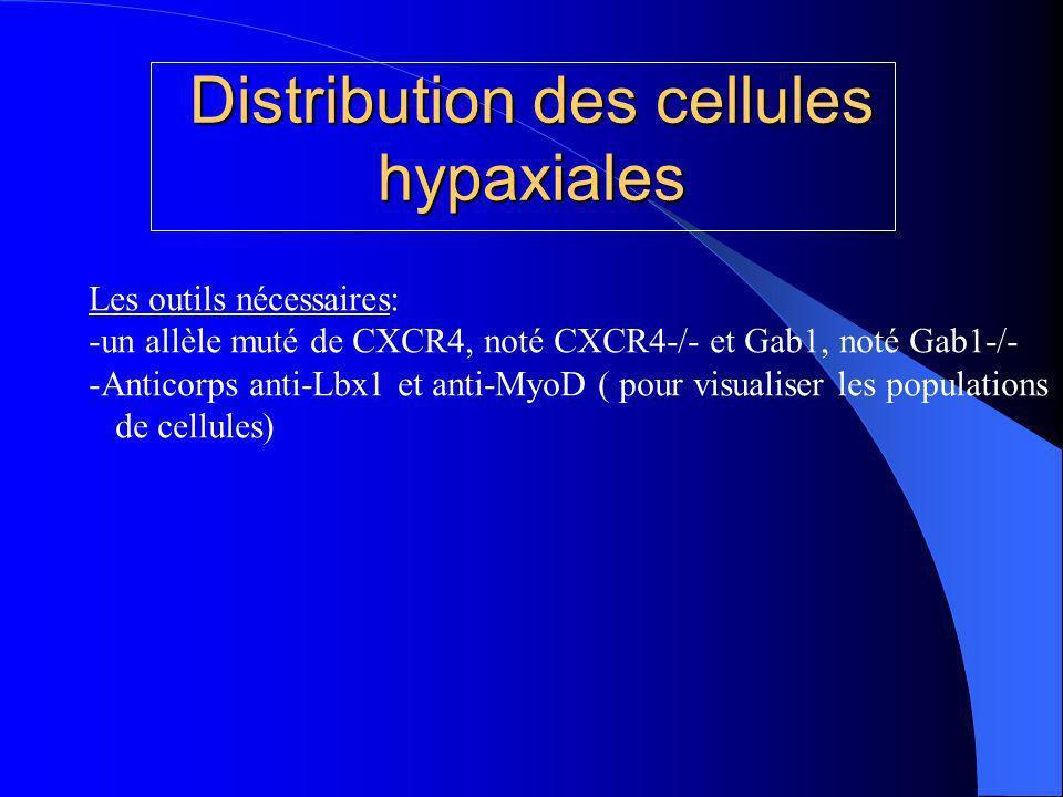 Distribution des cellules hypaxiales