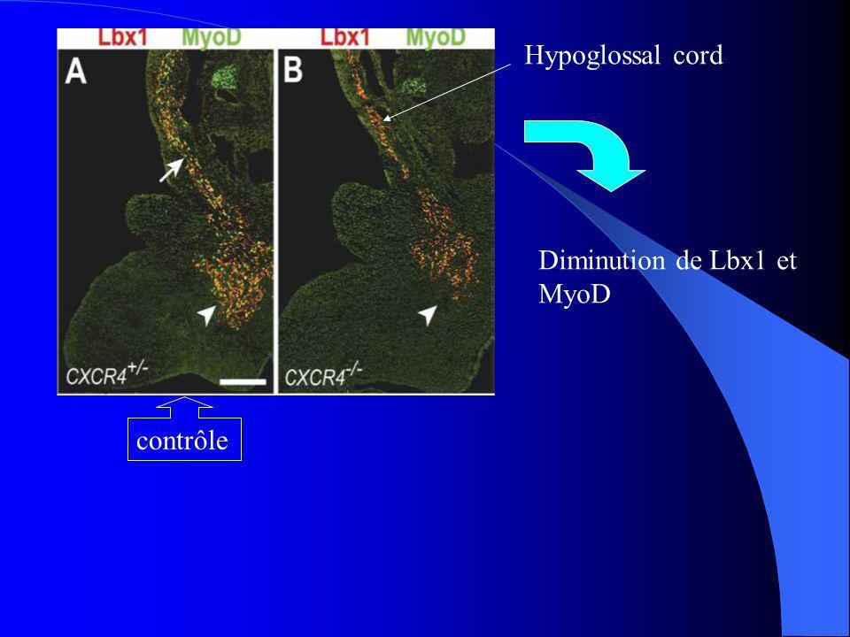 Hypoglossal cord Diminution de Lbx1 et MyoD contrôle