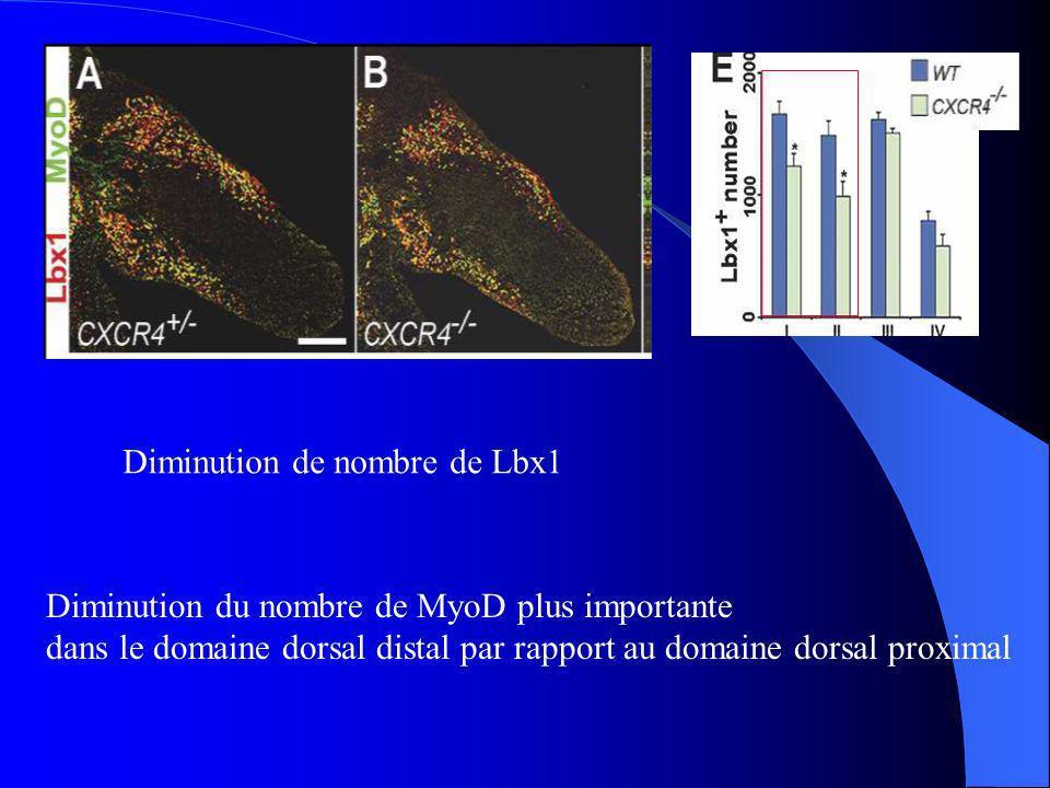 Diminution de nombre de Lbx1