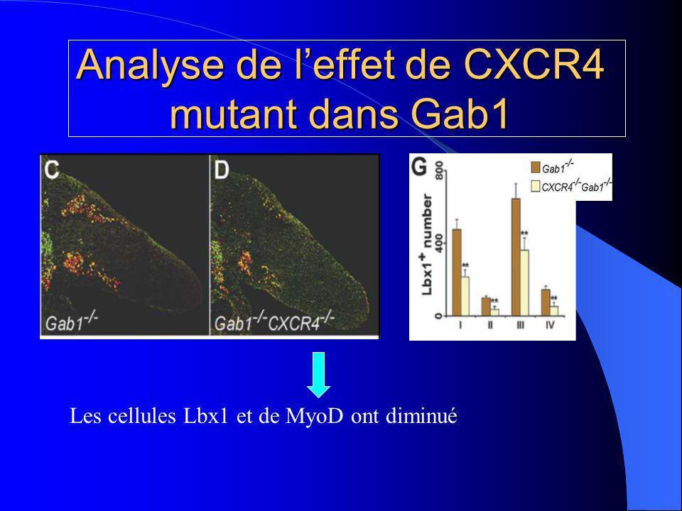 Analyse de l'effet de CXCR4 mutant dans Gab1