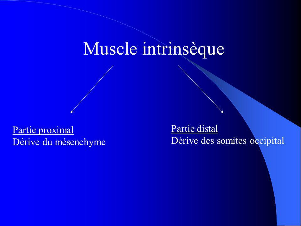 Muscle intrinsèque Partie distal Partie proximal