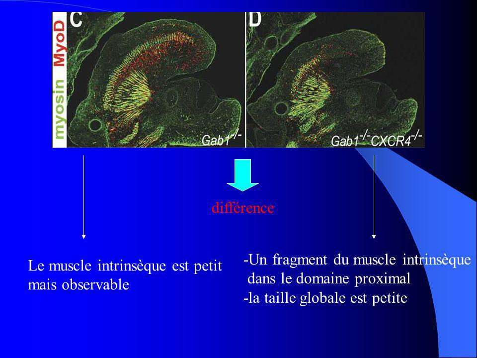 différence -Un fragment du muscle intrinsèque. dans le domaine proximal. -la taille globale est petite.
