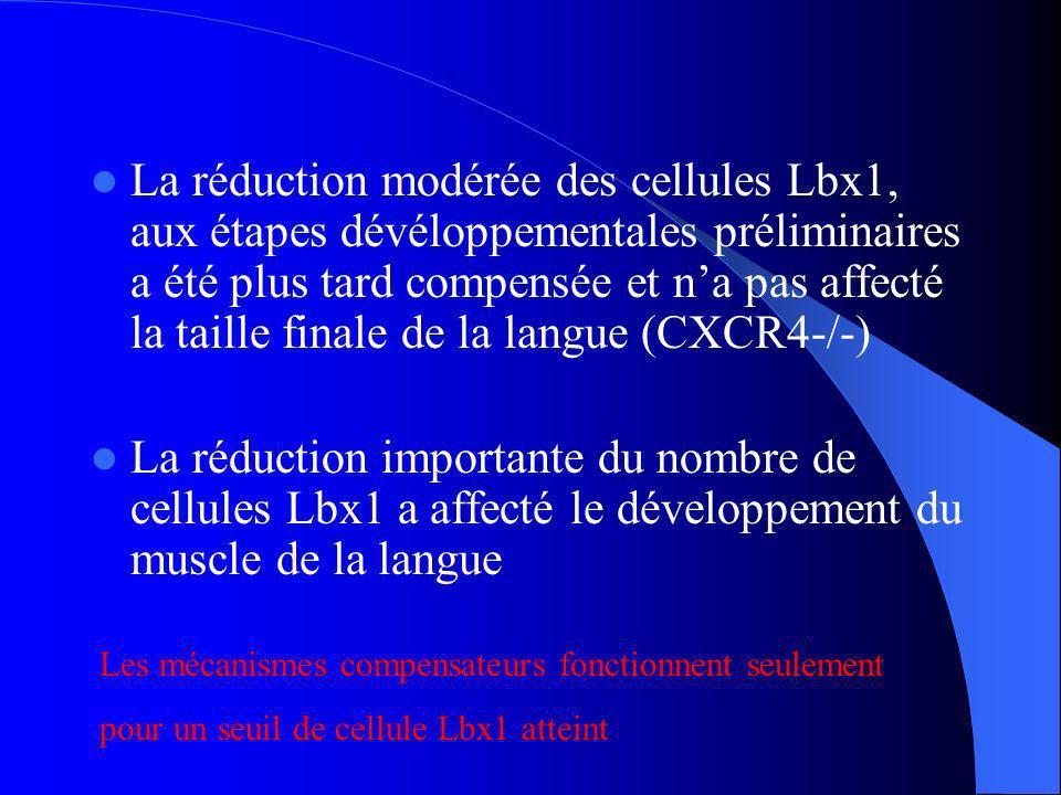 La réduction modérée des cellules Lbx1, aux étapes dévéloppementales préliminaires a été plus tard compensée et n'a pas affecté la taille finale de la langue (CXCR4-/-)