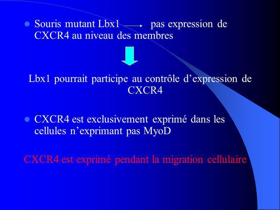 Lbx1 pourrait participe au contrôle d'expression de CXCR4