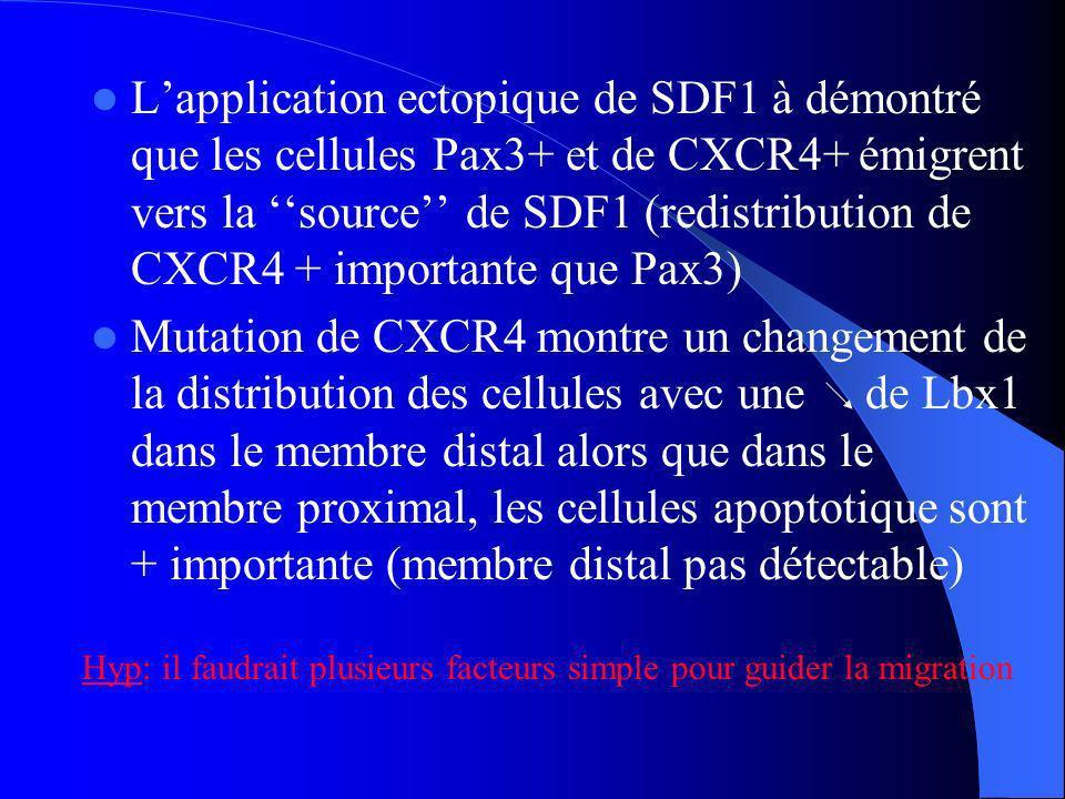 L'application ectopique de SDF1 à démontré que les cellules Pax3+ et de CXCR4+ émigrent vers la ''source'' de SDF1 (redistribution de CXCR4 + importante que Pax3)